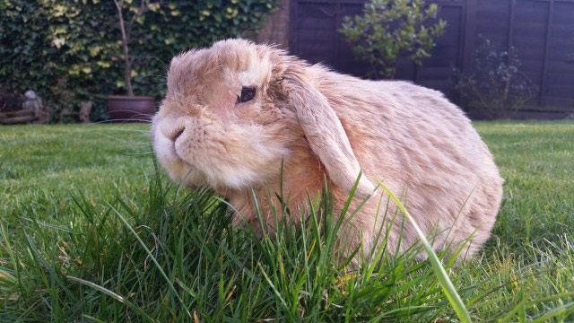 Marley floppy rabbit syndrome