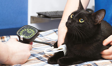 Feline Hypertension