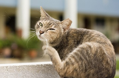 How to Get Rid of Fleas in Cats