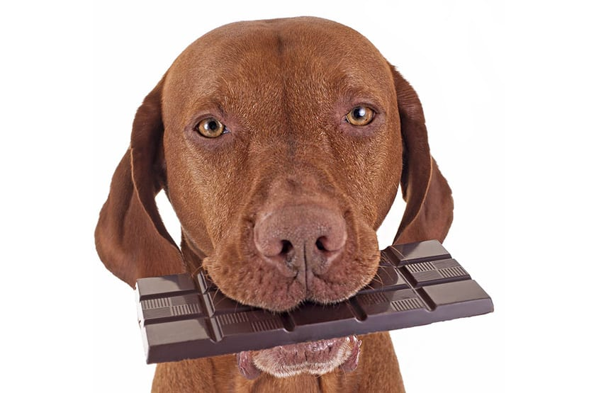 Dogs are prone to stealing chocolate, keep out of reach