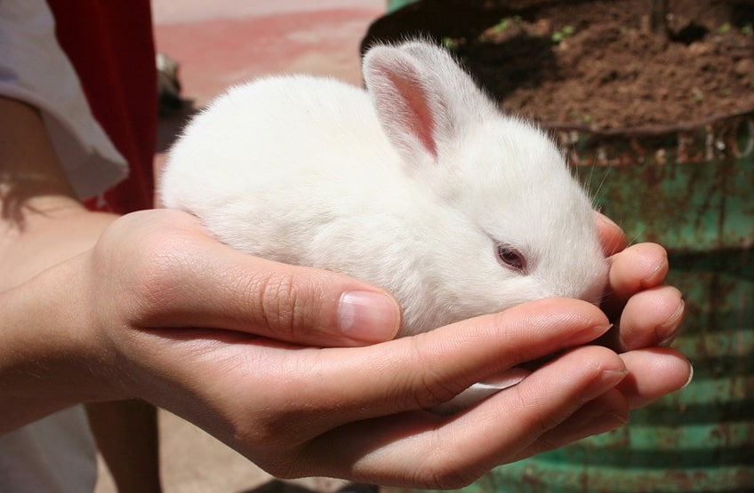 young pet rabbit care