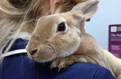 Viral Haemorrhagic Disease In Rabbits