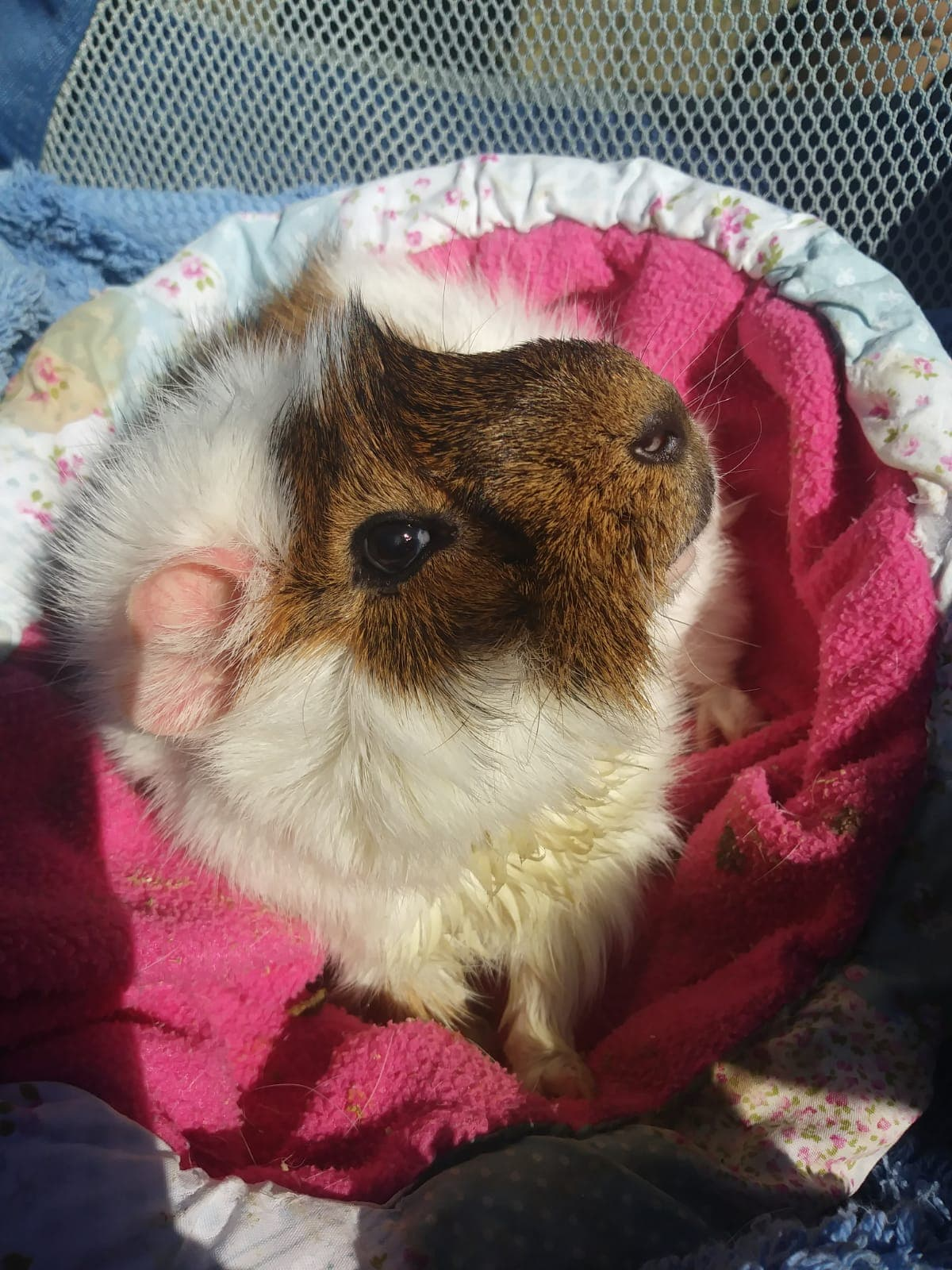 Alfie the Guinea Pig