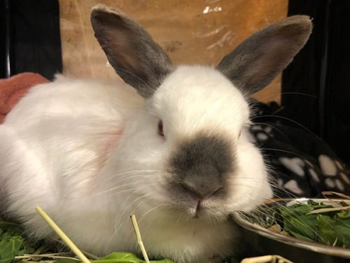 Beloved pet rabbit Tristan recovers from collapsed lung