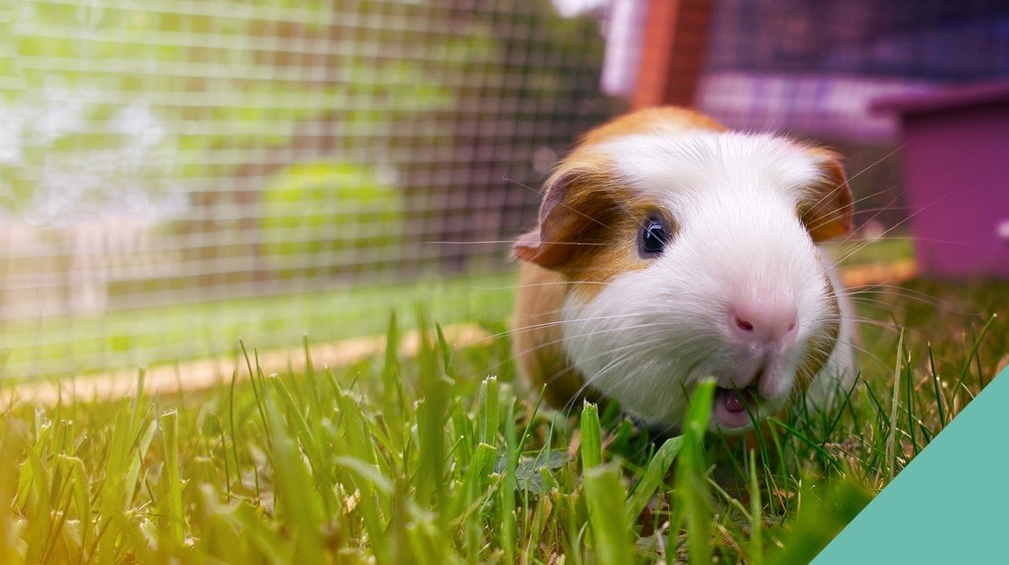 When to separate guinea pigs